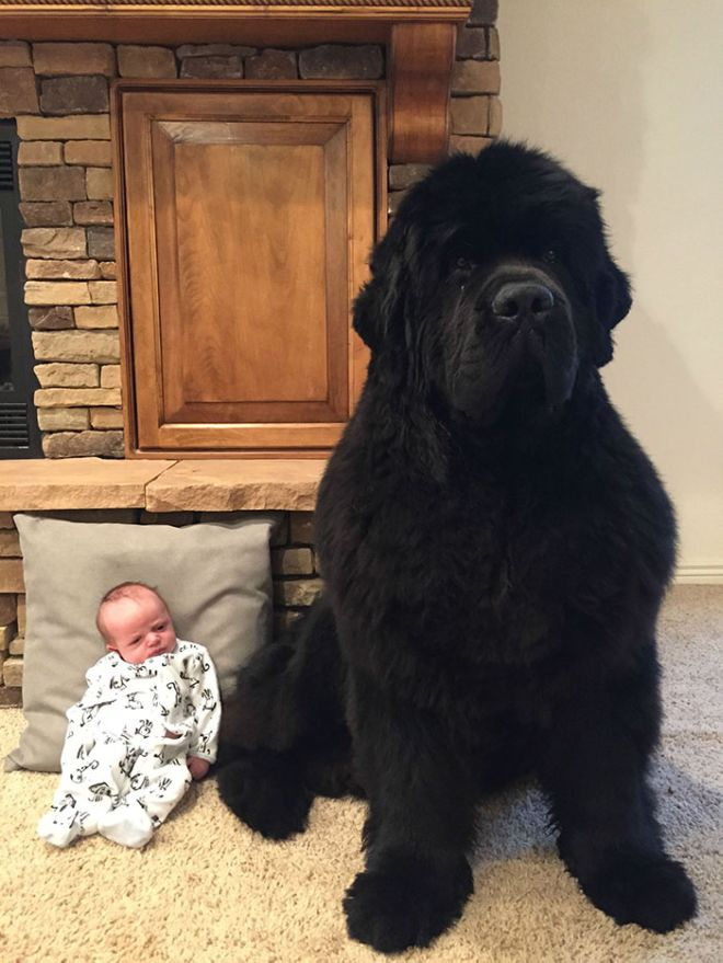 Meet The Funny Newfoundland Dogs