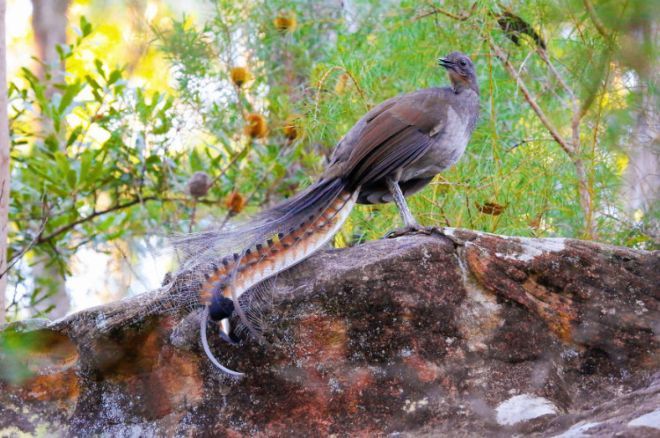 Meet Lyrebird - The Best Copycat Bird In The World